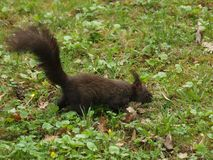 Brown squirrel in the grass. Northern Bohemia royalty free stock photos