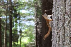 Brown Squirrel on Gray Tree Trunk royalty free stock image