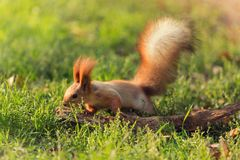 Brown squirrel on green grass, near a dry branch, jumping and movement. Wildlife royalty free stock images
