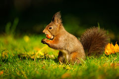 Brown squirrel with hazelnut on grass stock photography