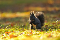 Brown squirrel with hazelnut on grass royalty free stock images