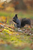 Brown squirrel with hazelnut on grass stock image