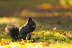Brown squirrel with hazelnut on grass Stock Images