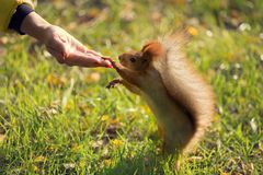 Brown squirrel on hind legs, stretched out and laid the front foot on the female hand, the concept of communication. With nature royalty free stock images