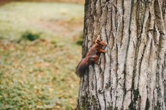Brown Squirrel Holding on Tree Royalty Free Stock Images