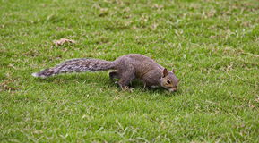 Brown squirrel Stock Photo