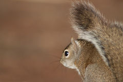 Brown Squirrel Looking Over It's Shoulder. Brown squirrel from the side as it looks over it's shoulder into the camera. The image has plenty of open space for Royalty Free Stock Images