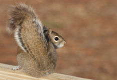 Brown Squirrel Looking Over It's Shoulder. Brown squirrel from the side as it looks over it's shoulder into the camera. The image has plenty of open space for Stock Image