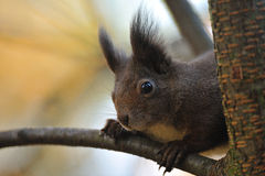 Brown squirrel looking from tree branch stock photography