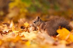 Brown squirrel with nut Stock Photos