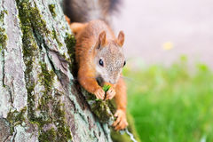 Brown squirrel with nuts Stock Image