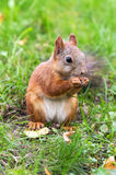Brown squirrel with nuts. Close up royalty free stock image