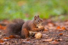 Brown squirrel with nuts. In Mlada Boleslav stock photography