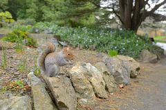 Brown squirrel with nuts. In Park stock images