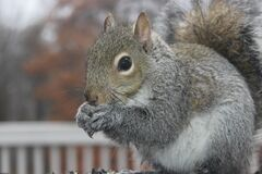 Brown squirrel outdoors
