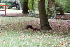 Brown squirrel in the park. Brown squirrel in the autumn park stock photography