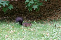 Brown squirrel in the park. Brown squirrel in the autumn park stock image
