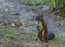 Brown squirrel in the park. Carpathians Ukraine stock photos