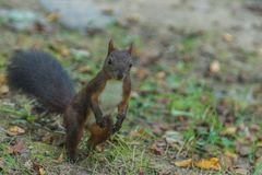 Brown squirrel in the park. Carpathians Ukraine Stock Image