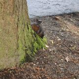 Brown squirrel peeping around tree trunk. With green moss on base of tree Stock Photo