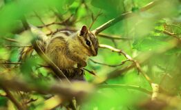 Brown Squirrel Perched on Tree Branch in Selective Focus Photography Royalty Free Stock Image