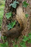 Brown squirrel perched on a tree are green. Royalty Free Stock Photo