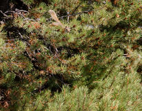 Brown squirrel in pine tree Royalty Free Stock Photo