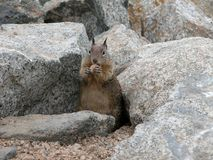 Brown squirrel on the rocks royalty free stock photos