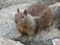 Brown squirrel on the rocks stock photo