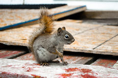 Brown squirrel. Side view. Stock Photo
