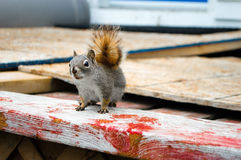 Brown squirrel. Side view. Royalty Free Stock Images