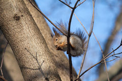 Brown squirrel sits on a tree and eats Stock Images