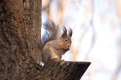 Brown squirrel sits on a tree Royalty Free Stock Image