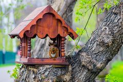 Brown squirrel sitting and eating nuts. In the house in a feeder on a tree trunk for birds and animals in the natural Park stock images