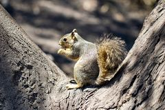 Brown squirrel sitting in a tree. Cute brown squirrel sitting in a tree eating food profile view royalty free stock photo