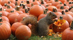 Brown Squirrel Snacking on Pumpkin Seeds Royalty Free Stock Photos