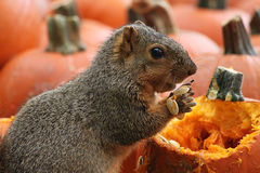 Brown Squirrel Snacking on Pumpkin Seeds. Brown Squirrel Eating Autumn Pumpkin Seeds Stock Image