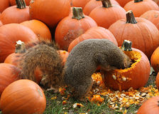 Brown Squirrel Snacking on Pumpkin Seeds. Brown Squirrel Eating seeds out of an Autumn Pumpkin Stock Photography