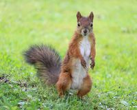 Brown squirrel standing on the lawn royalty free stock photography