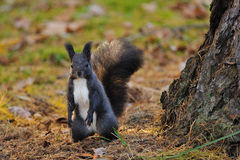 Brown squirrel standing next to the tree Royalty Free Stock Images