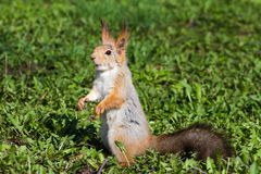 Brown squirrel stands on his hind legs on green grass with his mouth open. Brown squirrel stands on his hind legs on a green grass with his mouth open royalty free stock images