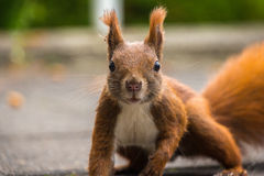 Brown squirrel starring Royalty Free Stock Photos