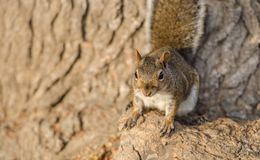 Brown squirrel at sunset. Time, close up royalty free stock photo