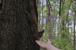 Brown squirrel take from hand walnut Stock Image