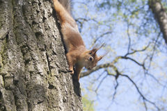 The brown squirrel Stock Image