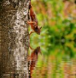 Brown Squirrel on Tree Looking at Reflection on Body of Water Royalty Free Stock Photography
