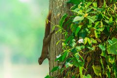Brown squirrel. On the tree in the park royalty free stock photo
