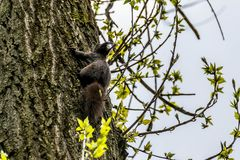 Brown squirrel on a tree. The texture of the bark and young branches with green leaves stock image