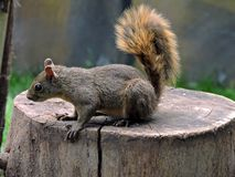 Brown squirrel on a trunk. This photograph shows a cute brown squirrel on a trunk, while looking around stock images