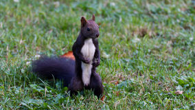 Brown Squirrel. With white belly royalty free stock photo